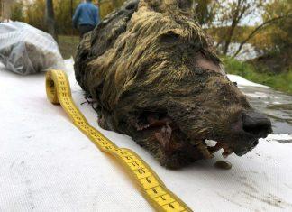 پیدا شدن سر 40 هزار ساله گرگ, پیدا شدن سر 40 هزارساله گرگ در سیبری, گرگ 40 هزار ساله, گرگ 40 هزار ساله سیبری, دانش, اخبار دانشیک, اخبار علمی, روشتک,raveshtech