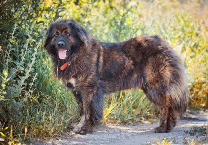 بزرگترین سگ جهان | سگ قفقازی